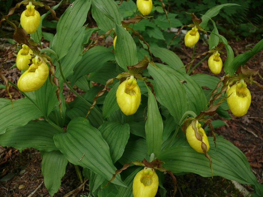 7ac7632f0 Wildflowers Photograph - Yellow Lady Slipper by Brenda Ketch
