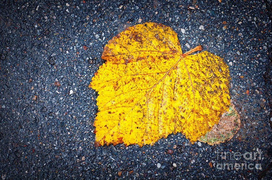 Asphalt Photograph - Yellow Leaf On Ground by Silvia Ganora