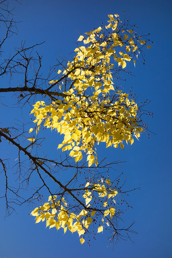 Leaves Photograph - Yellow Leaves In Fall And Deep Blue Sky by Matthias Hauser