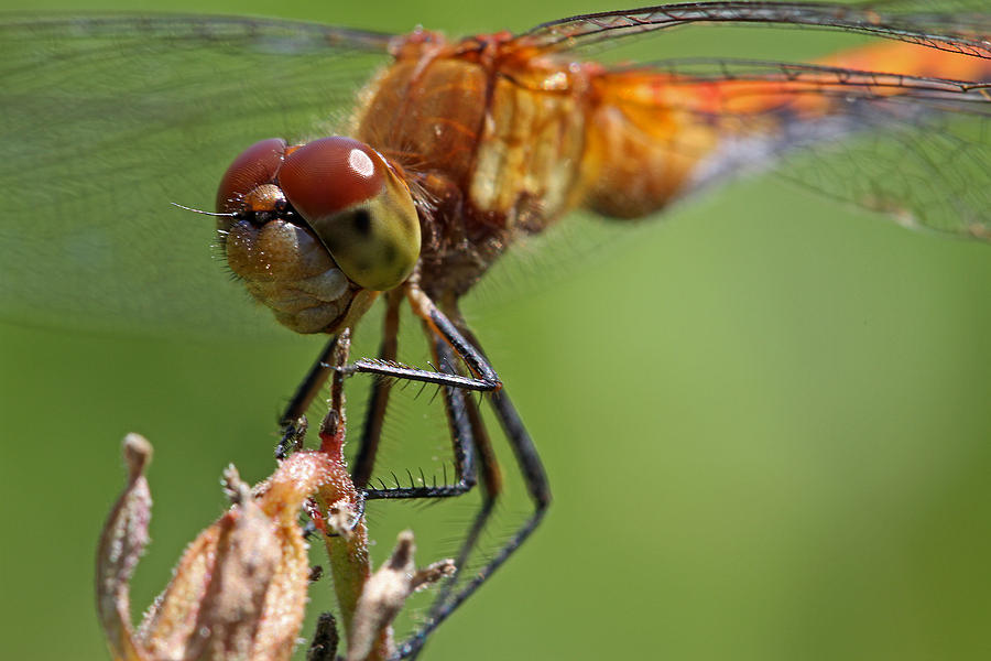 Dragonfly Photograph - Yellow-legged Meadowhawk Dragonfly by Juergen Roth