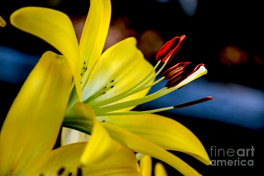 Lily Photograph - Yellow Lily Anthers by Robert Bales
