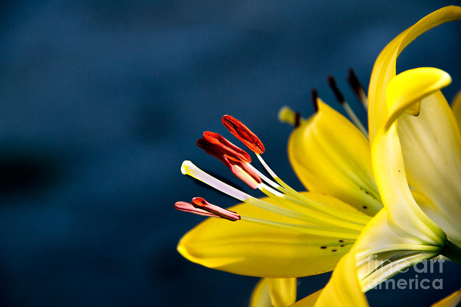 Lily Photograph - Yellow Lily Stamens by Robert Bales