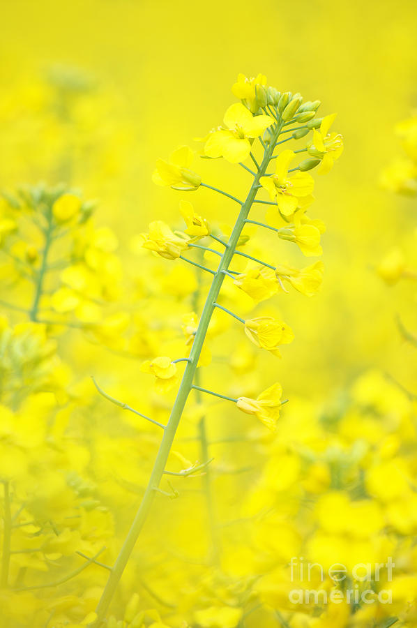 Raps Photograph - Yellow Makes Me Happy by Angela Doelling AD DESIGN Photo and PhotoArt