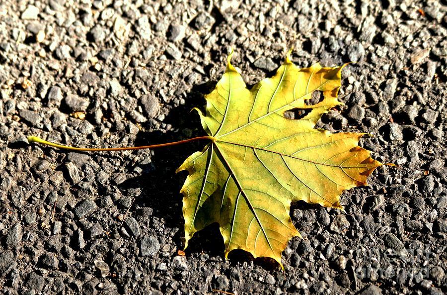 Maple Photograph - Yellow Maple Leaf On Asphalt by Kenny Glotfelty