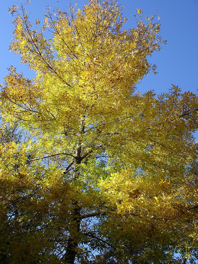 Nature Photograph - Yellow Maple Tree by Michel Mata