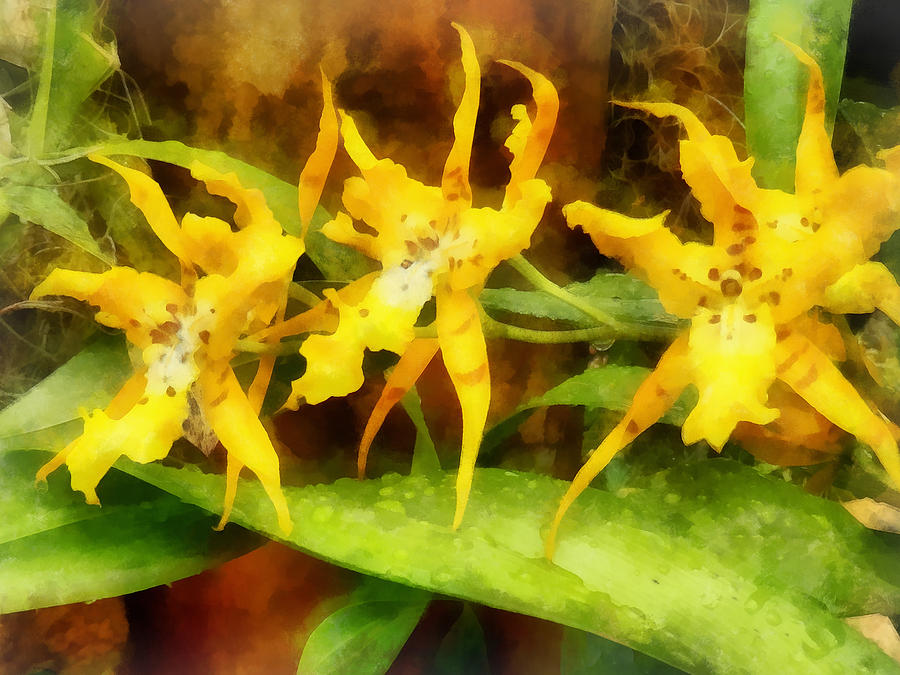 Orchid Photograph - Yellow Miltassia Orchids by Susan Savad