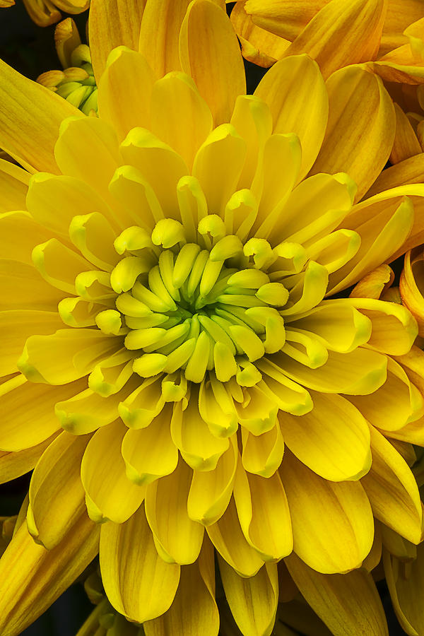 Yellow Photograph - Yellow Mum by Garry Gay