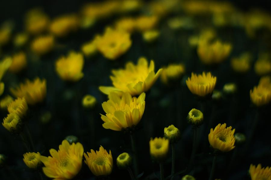 Yellow Flowers Photograph - Yellow Mums by Doug Hubbard