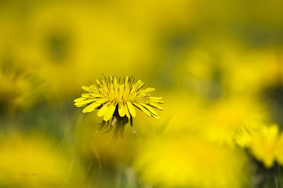 Dandelion Photograph - Yellow On Yellow Dandelion by Christina Rollo
