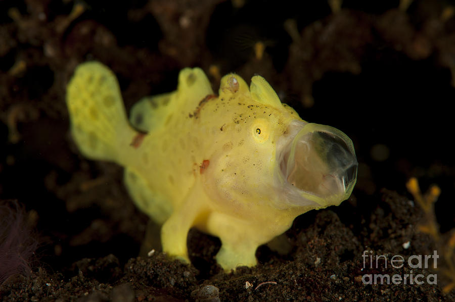 Yellow Painted Frogfish, Side Profile Photograph