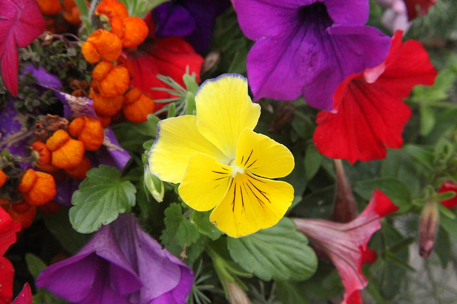 Colorful Flowers Greens Yellow Red Purple Bright Colors Nature Photograph - Yellow Pansy  by Donald Torgerson