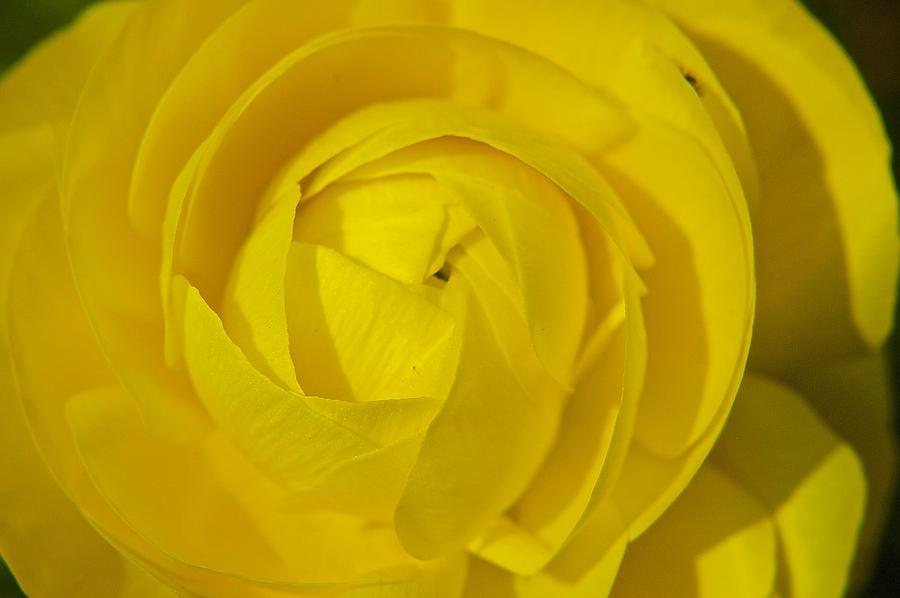 Yellow Photograph - Yellow Peony by Sharin Gabl