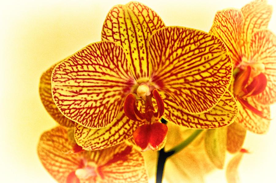 yellow phalaenopsis orchid photograph by kristina deane