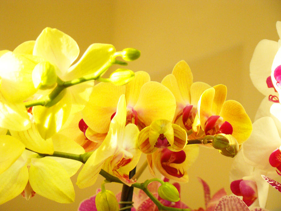 Yellow pink orchids floral art prints flowers photograph by baslee yellow photograph yellow pink orchids floral art prints flowers by baslee troutman mightylinksfo