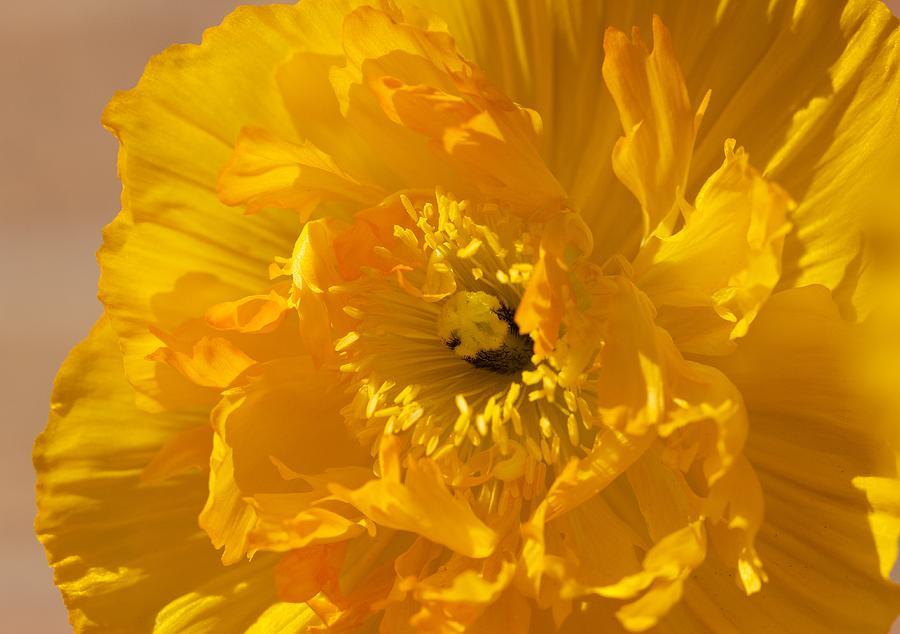 Yellow Poppy Digital Art - Yellow Poppy by Bonita Hensley