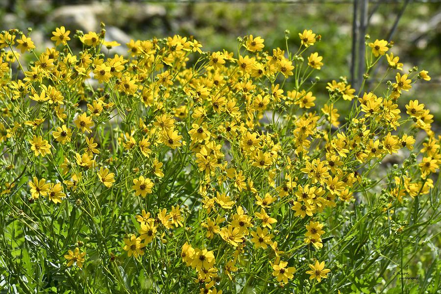 Yellow Photograph - Yellow Rays Of Sunshine by Teresa Dixon