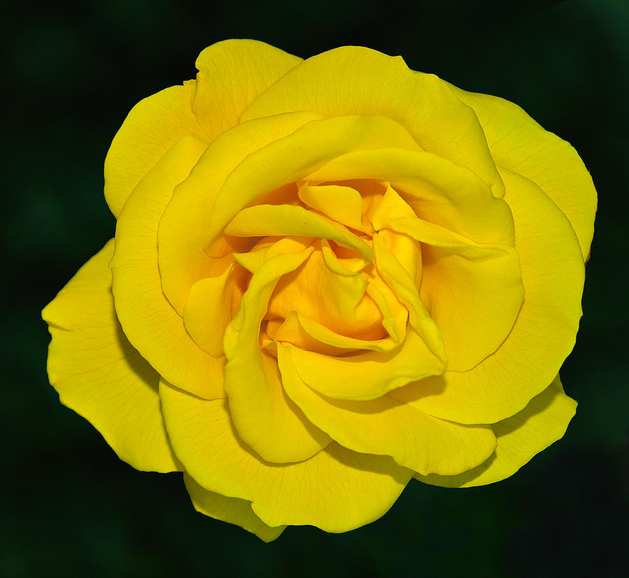 Bokeh Photograph - yellow rose but not of Texas by Baato