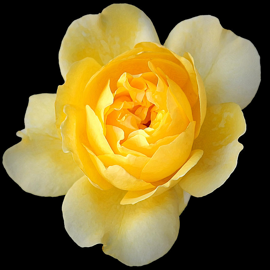 Rose Photograph - Yellow Rose by CarolLMiller Photography