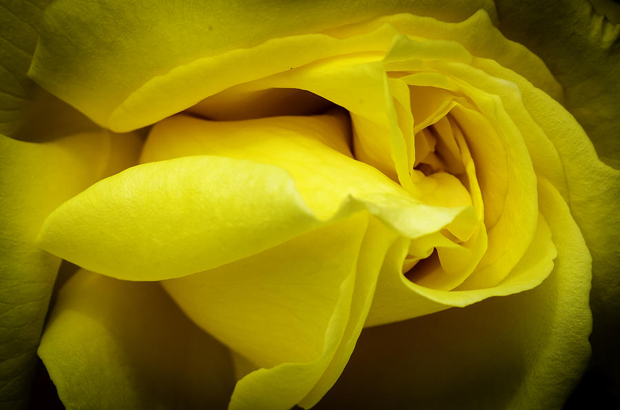 Abstract Photograph - Yellow Rose Close Up. by Slavica Koceva