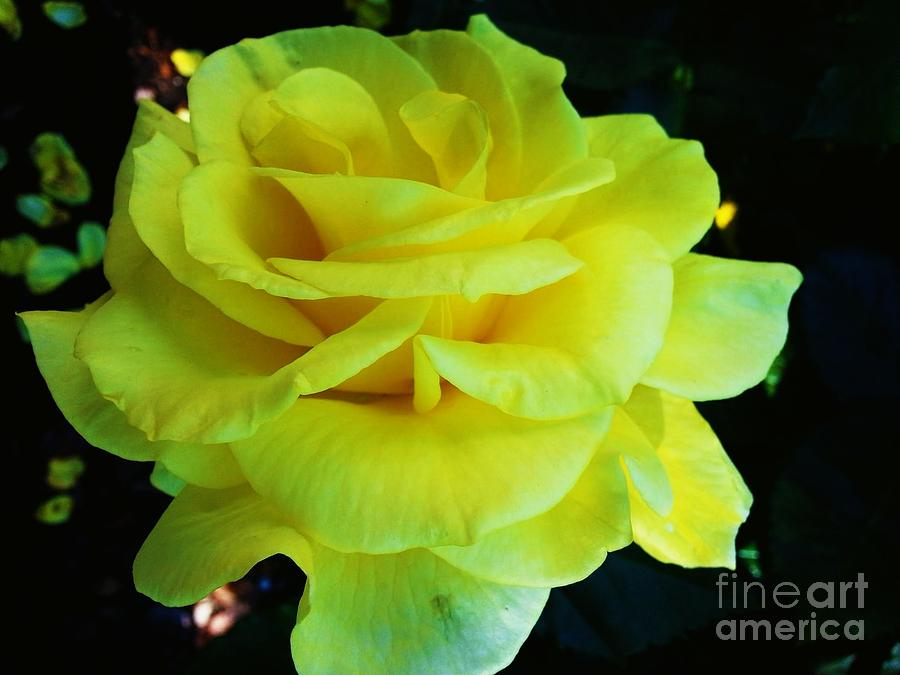 Rose Photograph - Yellow Rose by Heather L Wright