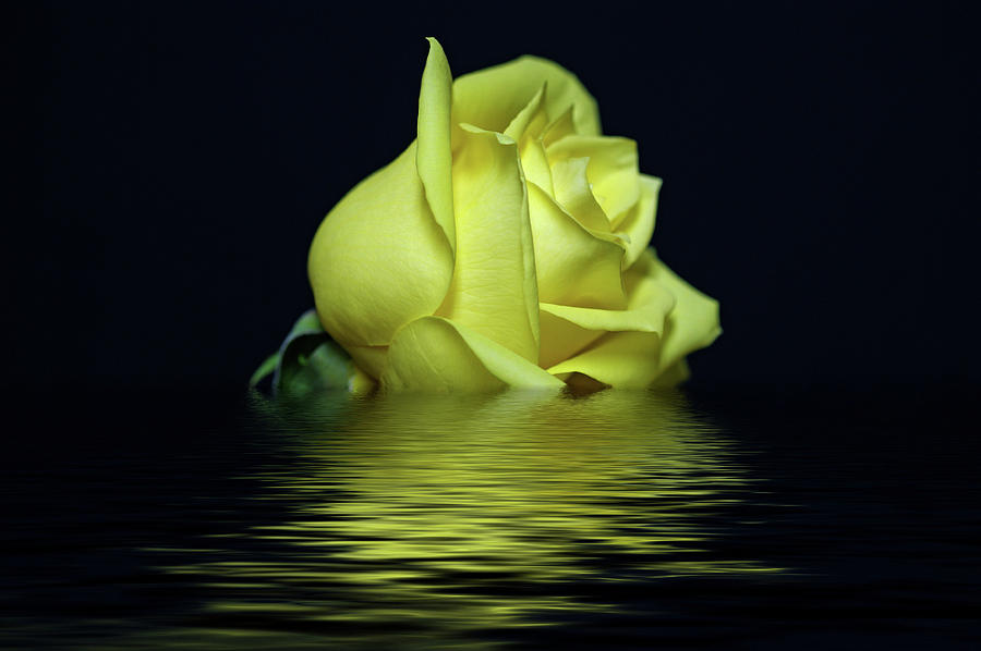 Yellow Rose Photograph - Yellow Rose II by Sandy Keeton