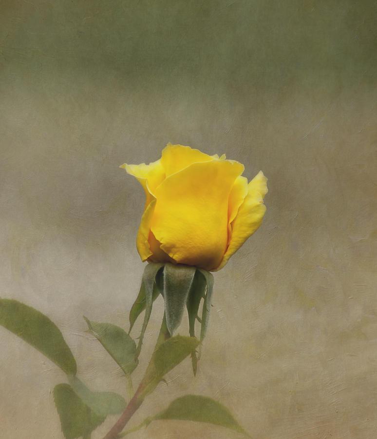 Rose Photograph - Yellow Rose by Kim Hojnacki