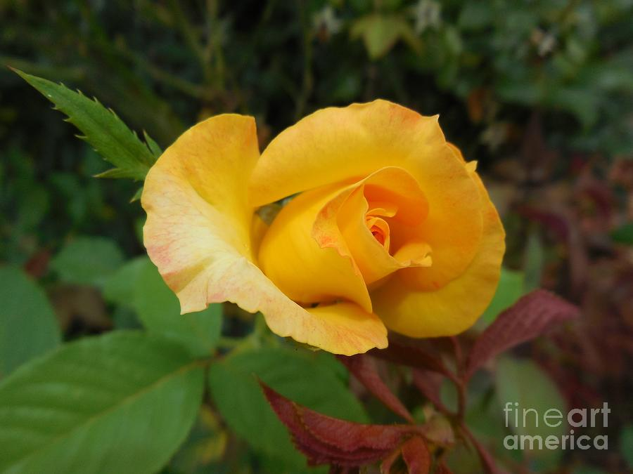 Gallery Photograph - Yellow Rose Of Texas by Eloise Schneider