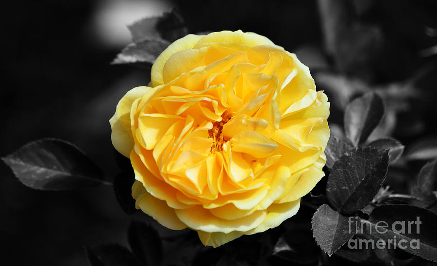 yellow rose of texas floral decor color splash black and white is a