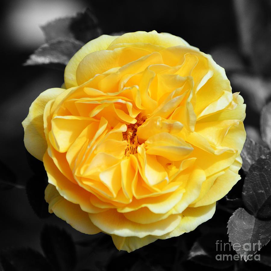 Yellow Rose Of Texas Floral Decor Square Format Color Splash Digital ...