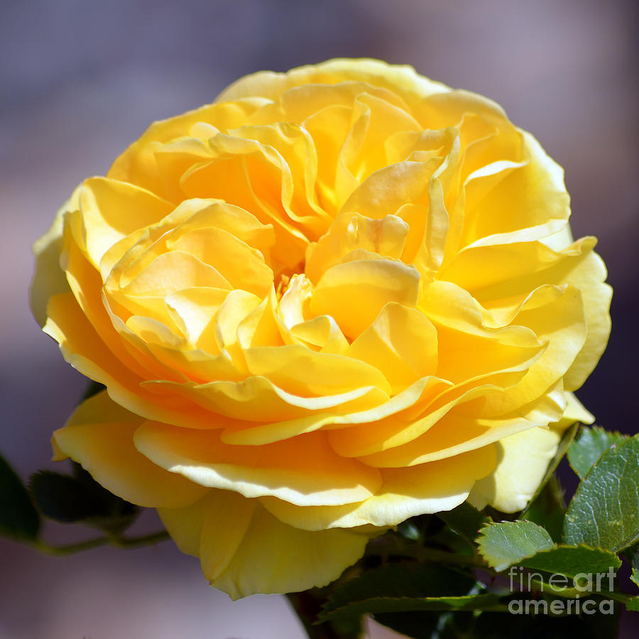 Yellow Rose Of Texas Floral Decor Square Format Photograph By Shawn