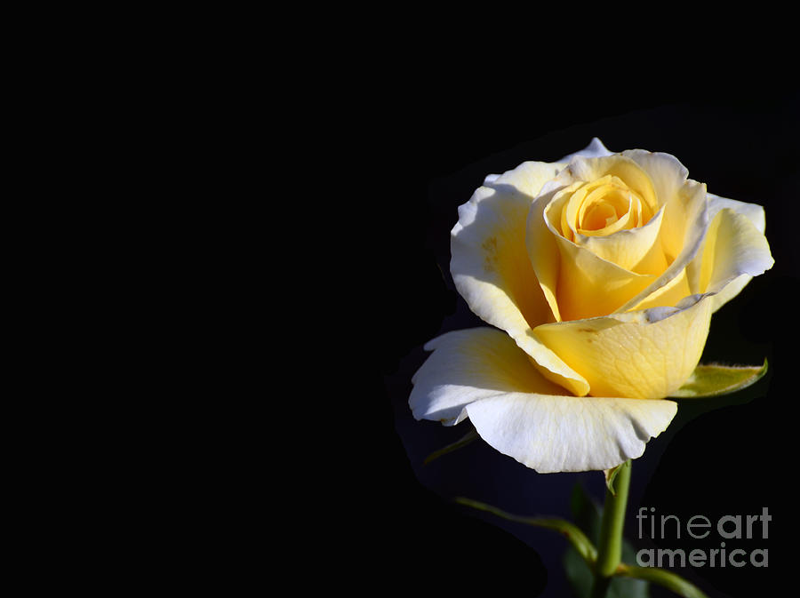 Yellow Rose on Black by Scott D Welch