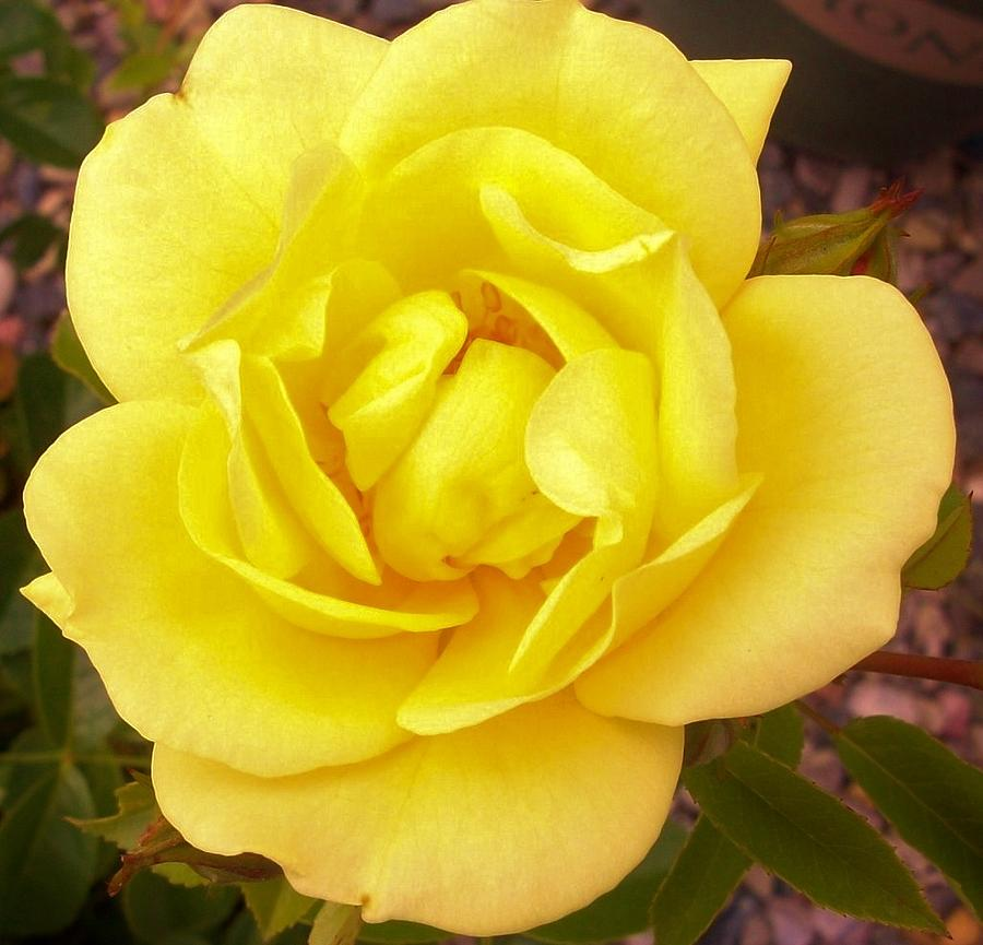 Yellow rose photograph by sharon ackley yellow rose photograph yellow rose by sharon ackley mightylinksfo