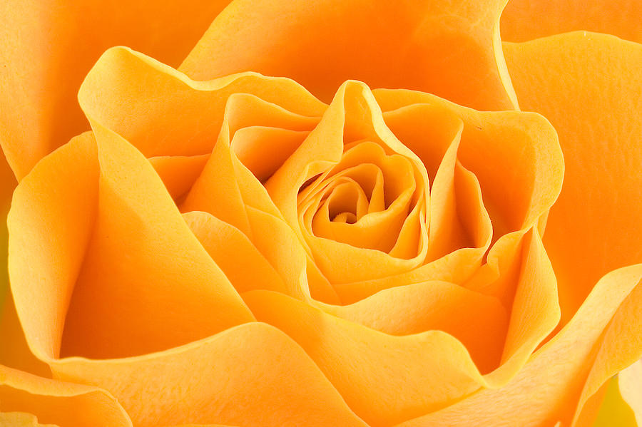 Rose Photograph - Yellow Rose by Tilen Hrovatic