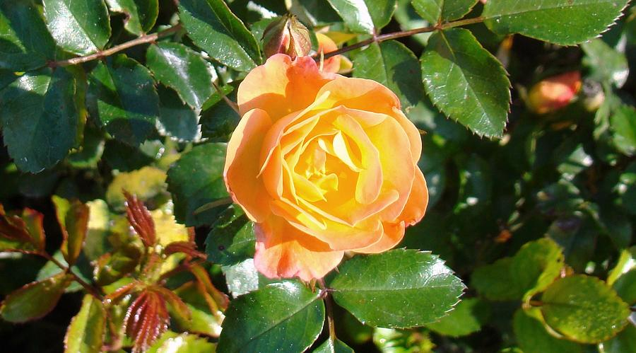Arbor Photograph - Yellow Rose by Van Ness