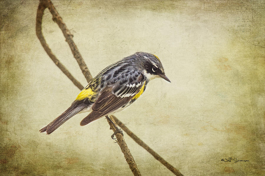 Yellow-rumped Warbler Photograph - Yellow-rumped Warbler 2 by Jeff Swanson