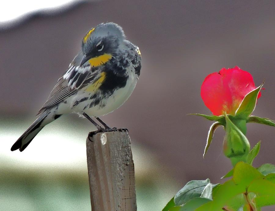 Bird Photograph - Yellow Rumped Warbler by Helen Carson