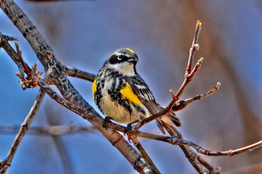 Birds Photograph - Yellow-rumped Warbler by Larry Trupp