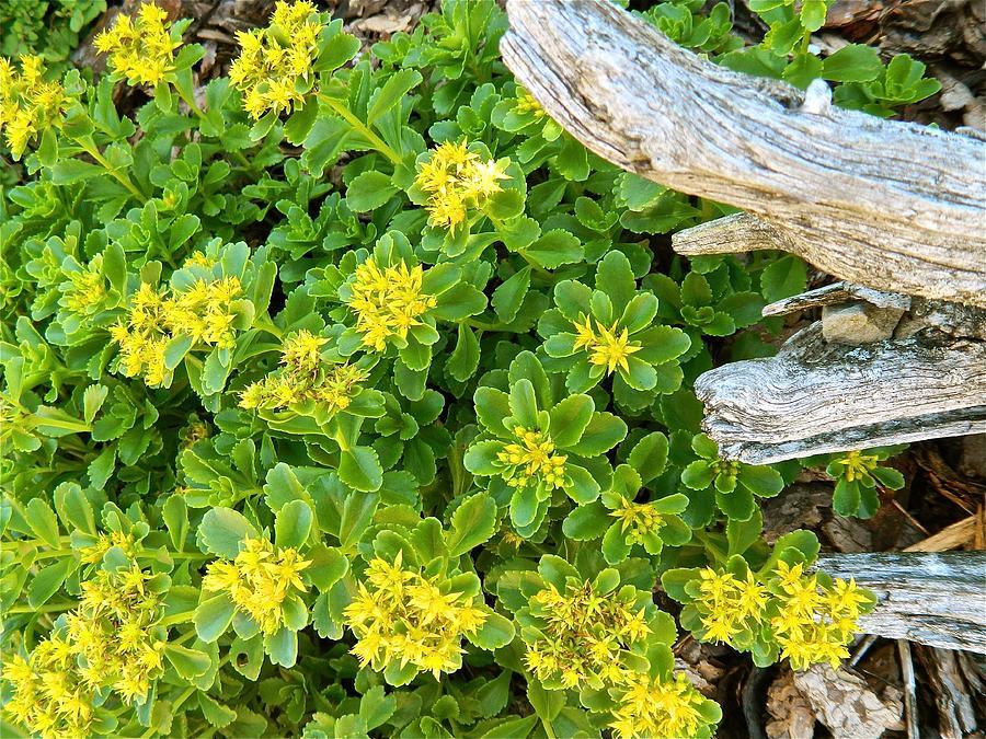 Sedum Photograph - Yellow Sedum Ala Drift by Randy Rosenberger
