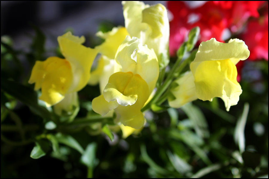 Flower Photograph - Yellow Snapdragons II by Aya Murrells