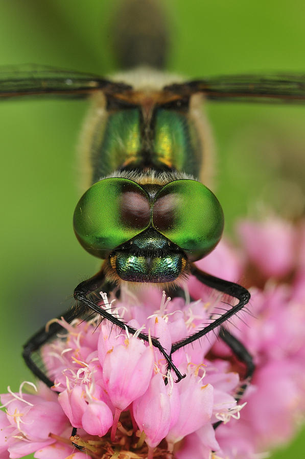 Yellow-spotted Dragonfly Switzerland Photograph by Thomas Marent