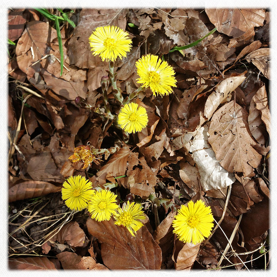Flowers Photograph - Yellow spring flowers and old brown leaves by Matthias Hauser