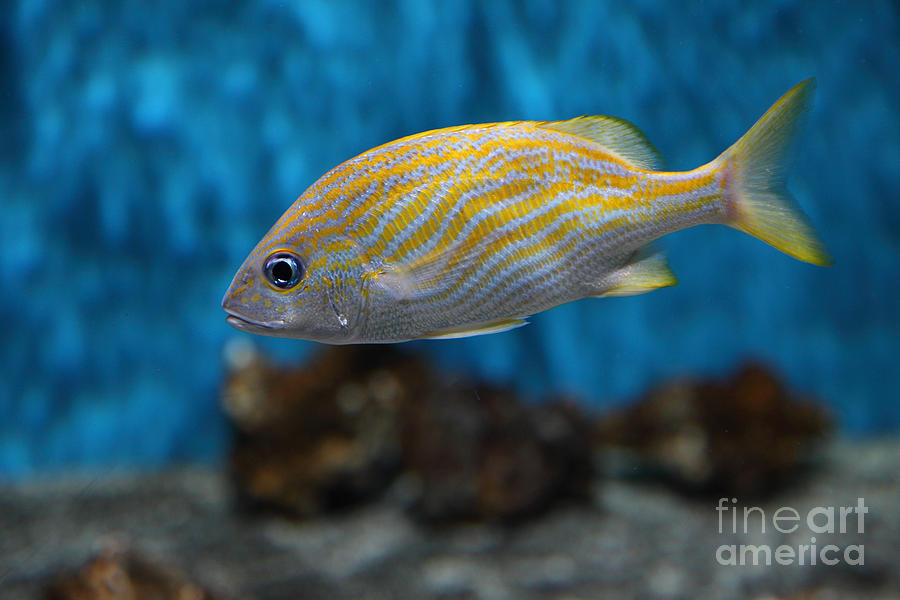 Yellow Striped Fish 5d25082 Photograph By Wingsdomain Art