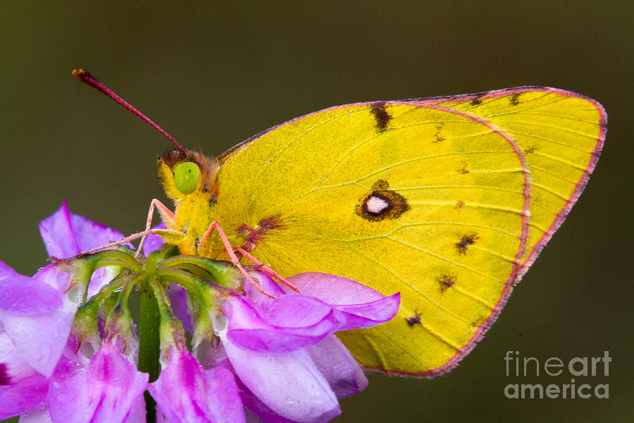 Sulfur Photograph - Yellow Sulfur Butterfly by Todd Bielby