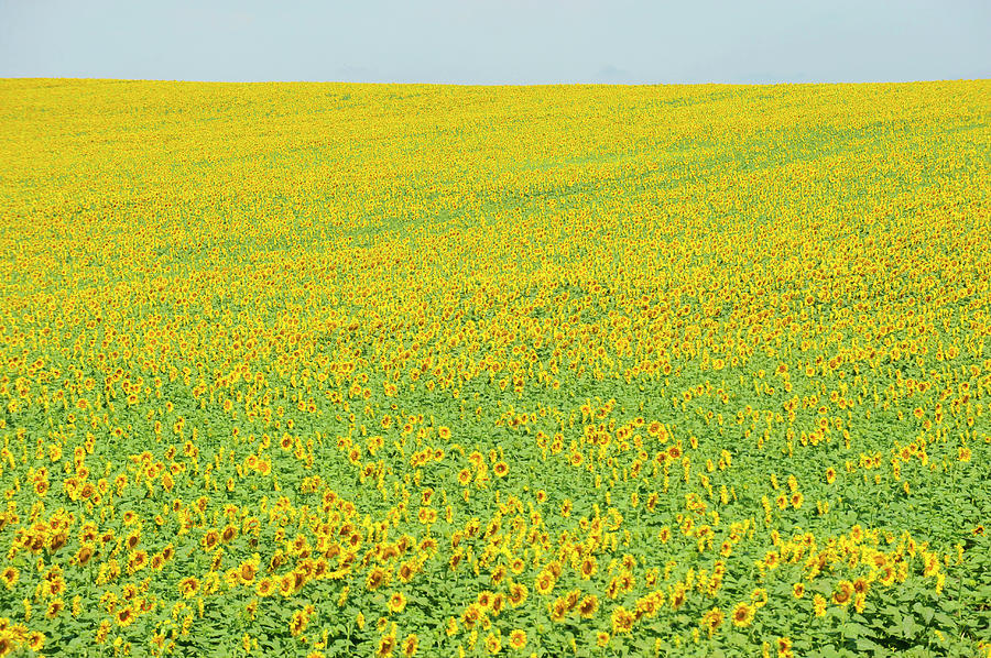 Yellow Sunflower Field Photograph by Dennis Macdonald