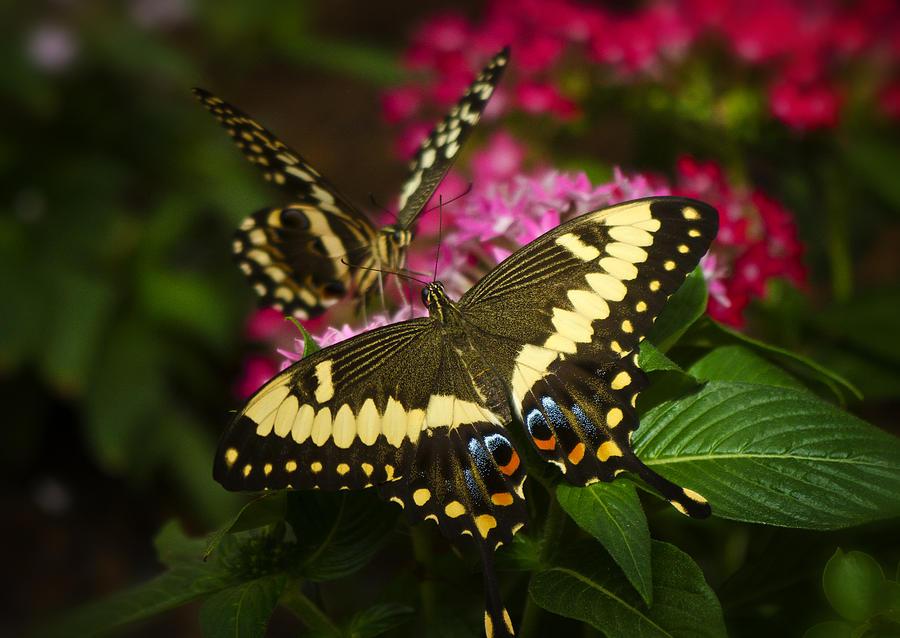 Yellow Swallowtail Butterfly Photograph - Yellow Swallowtail Butterflies  by Saija  Lehtonen