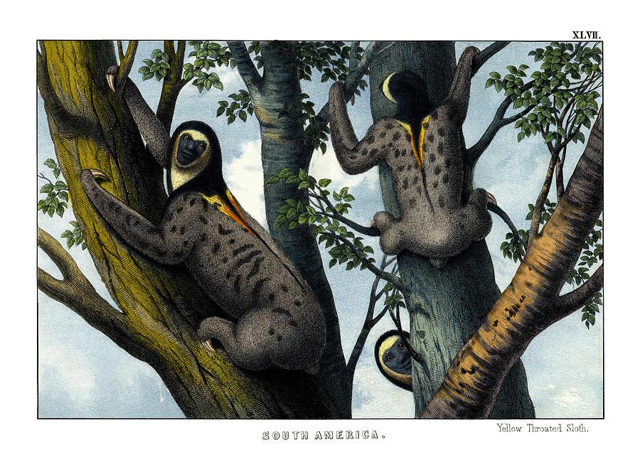 Wild Animals Drawing - Yellow Throated Sloth by Splendid Art Prints