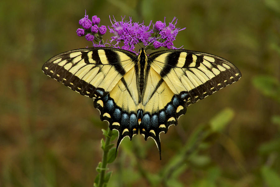 Yellow Tiger Swallowtail Butterfly Photograph By Chris Kusik