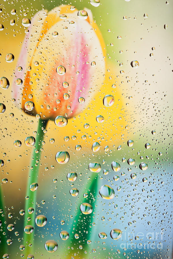 Yellow Photograph - Yellow Tulip Reflecting In Water Drops by Sharon Dominick