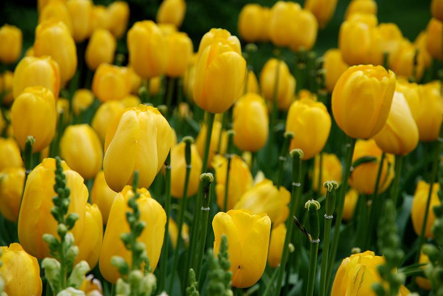 Yellow Tulip Sea Photograph By Jennifer Ancker