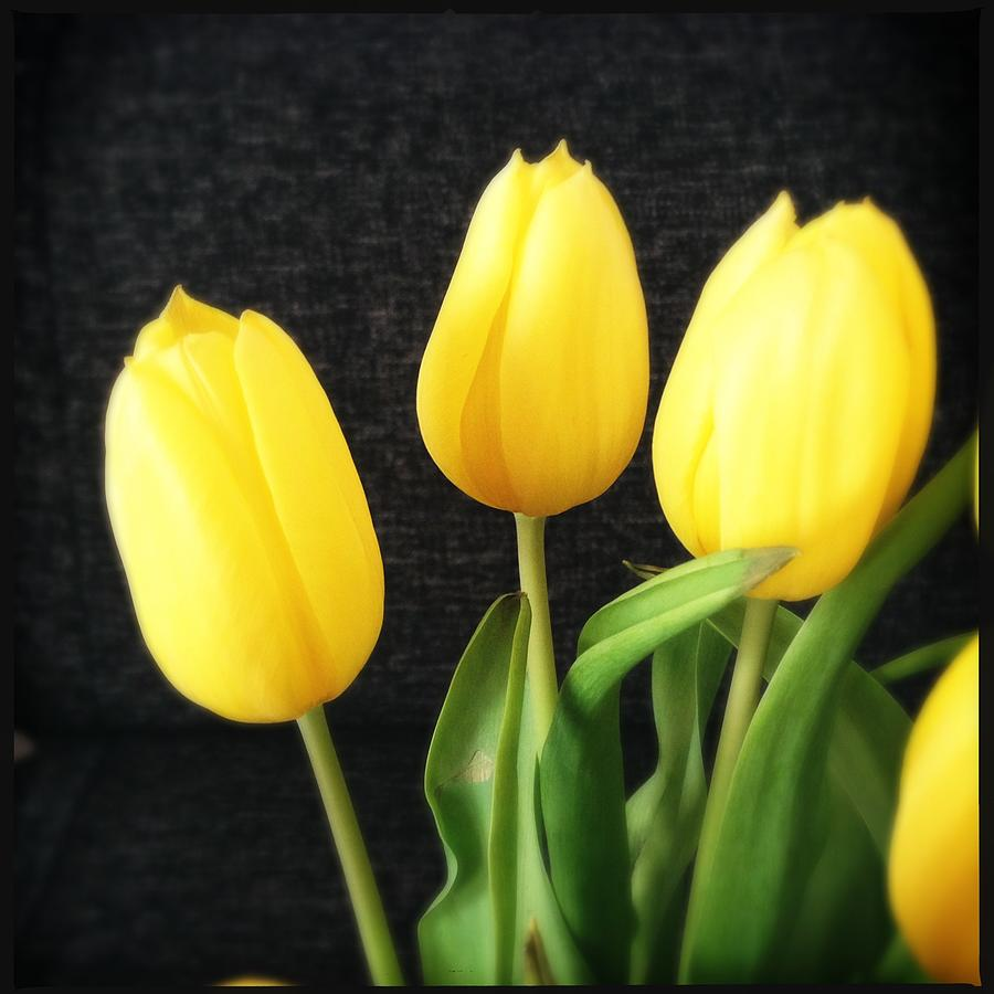 Yellow Photograph - Yellow tulips black background by Matthias Hauser